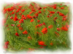 """Campo de amapolas • <a style=""""font-size:0.8em;"""" href=""""http://www.flickr.com/photos/15452905@N02/32252400001/"""" target=""""_blank"""">View on Flickr</a>"""
