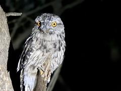 Anglų lietuvių žodynas. Žodis tawny owl reiškia naminė pelėda lietuviškai.