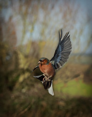 The Chaffinch (Nickerzzzzz - Thanks for stopping by :)) Tags: ©nickudy nickerzzzzz theartofphotography photography canon5d3 ef100mmf28lmacroisusm photograph wildlife nature bird finches fringillidae outdoor bif uk feathers flight