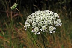 Weeds on Bushwalk, 15. Daucus carota, Queen Anne's Lace, Wild Carrot (AlfredSin) Tags: alfredsin whiteflowers daucuscarota queenanneslace australianflowers australianplants weeds canonpowershotpro1