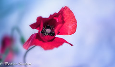 Spring and fragility (frederic.gombert) Tags: poppy light sun countryside garden poppies sunlight color red colors green macro flower flowers nikon d810