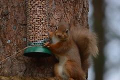 DSC_0037 (Davidstuart2013) Tags: squirel feeder