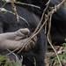 Mountain gorilla foot
