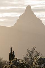 Morning light (Squirrel Girl cbk) Tags: 2017 arizona january organpipecactusnationalmonument saguaro