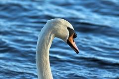 Mute Swan on the Castle Loch Lochmaben (penlea1954) Tags: nature reserve dumfries galloway scotland uk outdoor dumfriesshire bird castle loch lochmaben mute swan cygnus olor white