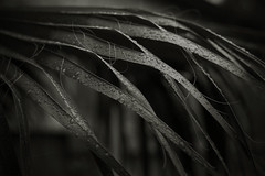 California Rain (CameraOne) Tags: rain canon6d canonef50mm14 f28 raw blackandwhite cameraone palm plant california raindrops outdoor tree greenery bokeh