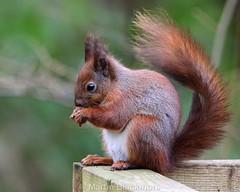 Red Squirrel 71434(10x8) (wildlifetog) Tags: red southeast squirrel alverstone isleofwight uk blackmore britishisles britain british mbiow martin canon england european eos7dmkii wild wildlifeeurope wildlife nature