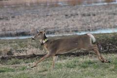 IMG_3106 Columbian white-tailed deer No 37 (Jon. D. Anderson) Tags: ridgefieldnwr deer whitetaileddeer columbianwhitetaileddeer odocoileusvirginianus odocoileusvirginianusleucurus endangeredspecies radiocollared threatenedspecies