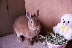 Ichigo san 591 (Ichigo Miyama) Tags: いちごさん。うさぎ。 rabbit bunny netherlanddwarf brown ichigo ネザーランドドワーフ ペット いちご うさぎ
