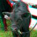 3D-07-27-08-0052ab nice baby calves