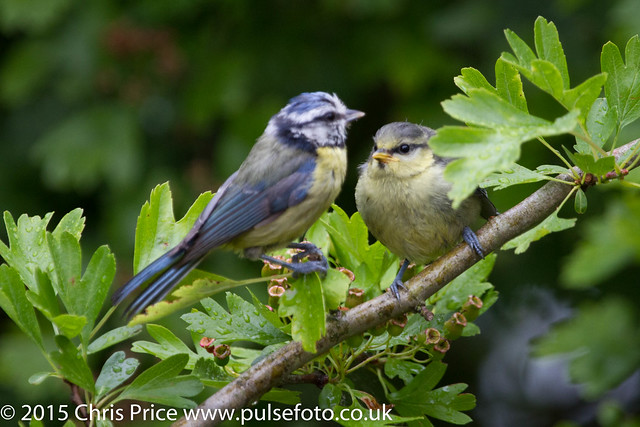 Blue Tit Fledgling with a rather tatty looking Parent