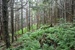 Stand Density - Trees and Ferns (Stuart Borrett) Tags: usa tree ecology nc community fir mtmitchellstatepark