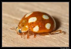 Coccinelle  dix points (Calvia decemguttata) (cquintin) Tags: ladybird arthropoda coccinelle coleoptera coccinellidae calvia ctedor decemguttata macroinsectes