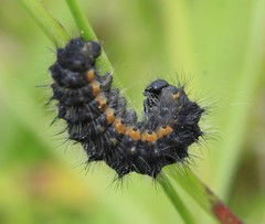 caterpillar indet (BSCG (Badenoch and Strathspey Conservation Group)) Tags: