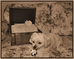 What Secrets Will Bella Find In This Old Trunk? (marilyntunaitis) Tags: trunk bella vintagestyle dogchal dailydogchallenge 2015ayearinpictures