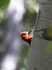 Red-breasted Sapsucker (jd.willson) Tags: wood red lake nature birds woodpecker wildlife nevada birding tahoe sierra jd pecker sapsucker willson breasted redbreased jdwillson
