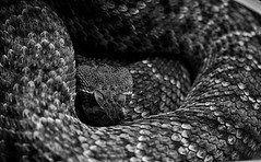 The beauty sleeping (Alberto Cavazos) Tags: bw monochrome animal 50mm monocromo snake fangs rattlesnake rattle crotalus cascabel venenosa vivora canonef50mm18 niftyfifty colmillo aspid fixedfocal crtalo pimelens thebeautysleeping