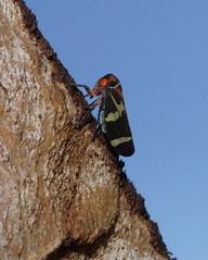 Climbing Tree Hopper (ron_n_beths pics) Tags: westernaustralia treehoppers hemiptera perthbushlands