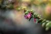 No more Drama (hploeckl) Tags: winter flower bloom pentacon projectorlens 2880 nikon d750 switzerland botanicalgarden bokeh sunshine