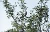 Redpoll (Carduelis flammea) (SteveInLeighton's Photos) Tags: transparency birds iceland myvatn july ektachrome redpoll 1984