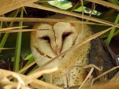 barn owl- palos verdes (gskipperii) Tags: owl barnowl raptor predator fanpalm awake roosting palosverdes bird outdoors animal nature wildlife
