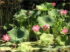 (Tölgyesi Kata) Tags: lotus lotusflower lótuszvirág nelumbonucifera tuzsonjánosbotanikuskert botanikuskert botanicalgarden summer japánkert japanesegarden pinkflower blossom nyár