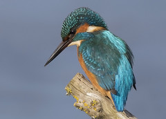 Kingfisher (Steve Ashton Wildlife Images) Tags: kingfisher