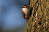 Treecreeper (andyno43) Tags: animal nature canon1dx canonef600mm canon bird country common perched wildlife lincolnshire little small outdoor wasps nest treecreeper