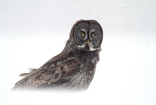 Owl In A Snow Storm