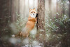 Looking for... (Alicja Zmysłowska) Tags: red fox redfox wildlife wild animal animals foxes forest snow winter