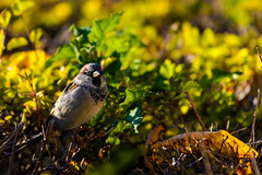 On the hedge (Rico the noob) Tags: dof bokeh nature d500 birds sparrow 70200mmf4 2016 animal leaves zurich schweiz bird published 70200mm animals eye closeup switzerland outdoor