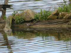 COMMON SANDPIPER 4 26-04-2015 DSCN0330 (Coventry City Council) Tags: coombecountrypark coombeabbey coventry