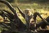 1 of 6 cheeta cub's (lindabosmuis) Tags: canon 6d 100400mm netherlands burgerszoo arnhem cheeta cubs jachtluipaard welpjes dieren roofdieren katachtige predator animal bigcats