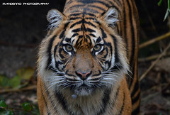 Sumatran tiger - Burgers Zoo (Mandenno photography) Tags: dierenpark dierentuin dieren animal animals bigcat big cat burgers zoo burgerszoo