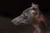 _DSC1360 (faithful_whippets) Tags: nikon d7100 hunde windhunde ital windspiele