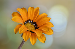 Naranja / Orange (hequebaeza) Tags: gazania rigens gazaniarigens naranja plantas naturaleza vegetación flores flowers flora nikon d5100 nikond5100 bokeh hequebaeza