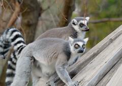 Lemurs casting doubt (rudydlc81) Tags: lemurs dczoo zoo animals