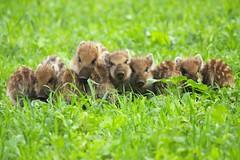 Wilde zwijntjes op een rijtje (robreintjes) Tags: dieren zoogdieren wildlife panoramio54853423533410