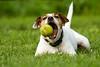 Love his ball to (SwissFotoFuchs) Tags: terrier liegend gröse umgebung wiese farbe braun aktion klein weis rasse