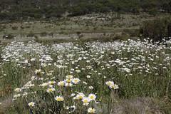 Weed - Ox-eye daisy infestation (Environment + Heritage NSW) Tags: weed weedcontrol weedmanagement noxiousweed kosciuszkonationalpark kosciuszko keythreat keythreateningprocess weedwise oxeye oxeyedaisy leucanthemumvulgare