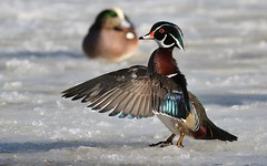Wood Duck (M) (kearneyjoe) Tags: wood duck bowring park stjohns newfoundland