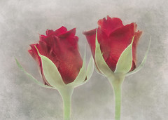 two red roses together (Hal Halli....happy everything!!) Tags: roses red two pair romance flowers stilllife wallart floral