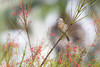 House Finch (F) (Peter Stahl Photography) Tags: finch housefinch hawaii winter