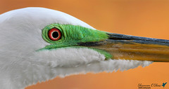 Behind the green lore (Shannon Rose O'Shea) Tags: shannonroseoshea shannonosheawildlifephotography shannonoshea shannon greategret egret lore colorful alligatorbreedingmarshandwadingbirdrookery gatorland orlando florida flickr wwwflickrcomphotosshannonroseoshea white green red orange feathers beak nature wildlife waterfowl outdoors outdoor canon canoneos80d eos80d 80d canon80d canon100400mm14556lisiiusm profile closeup macro fauna bird redeyes