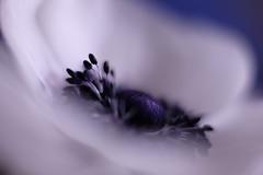 in quietness/静寂の中で (kurupa_m) Tags: anemone flower plant xt10 mcex16 アネモネ white 白 purple 紫