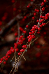So softly (Elisabeth Runde Norway) Tags: branches nature colors red naturephotography macro norway norge natur plant berrys dance art warmth love landscape norwaylandscape summer