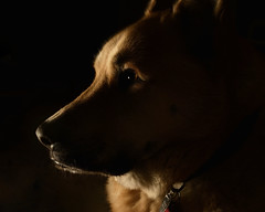 boobear2_ (BooBoopdx) Tags: nikon d7100 afs dx 1685mm f3556 pets dog portrait single flash neewer tt560