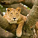 Tree climbing Lion in Uganda 0186