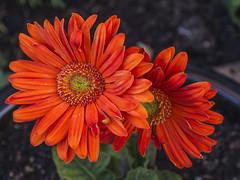 Red Gerbera (or is it Orange?) (stevedewey2000) Tags: flowers red macro garden petals flora backgarden teleconverter 43 sigma50mmmacro gardenflowers kenko14x