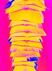 56740.09 Hosta (horticultural art) Tags: stack pile hosta slices cutleaves horticulturalart